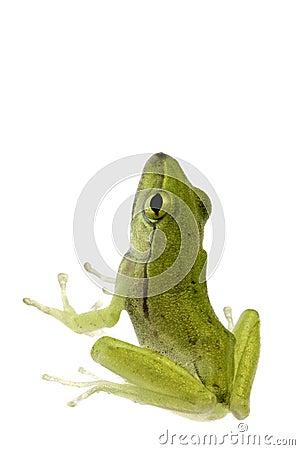 Free Juvenile Frog Isolated Stock Image - 6969561