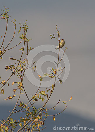 Juvenile Greenfinch