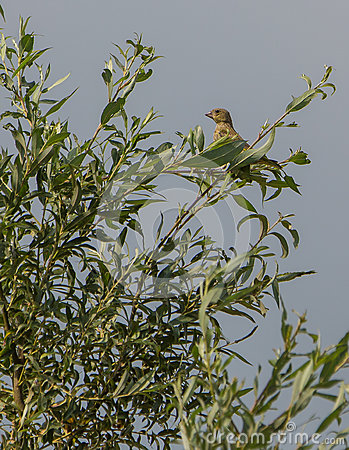 Juvenile Greenfinch on a tree
