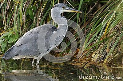 Juvenile Grey Heron