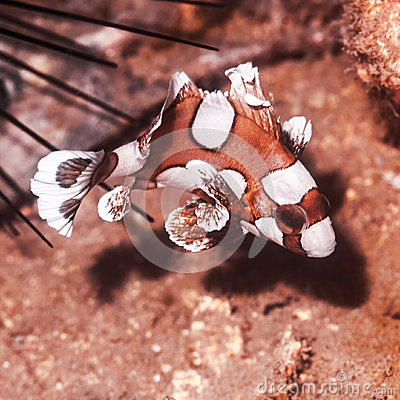 Juvenile harlequin sweetlips