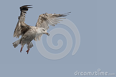 Juvenile Herring Gull in flight