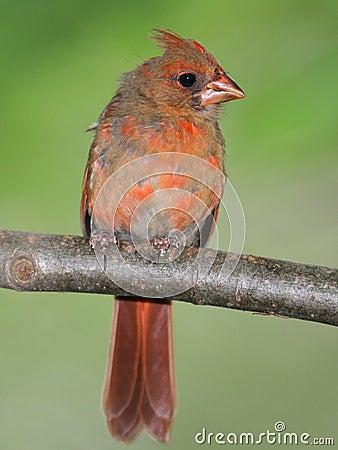 Free Juvenile Male Cardinal Stock Photos - 20437773