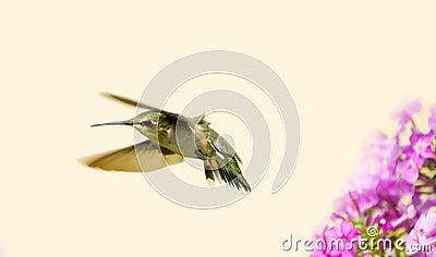 Juvenile male hummingbird.