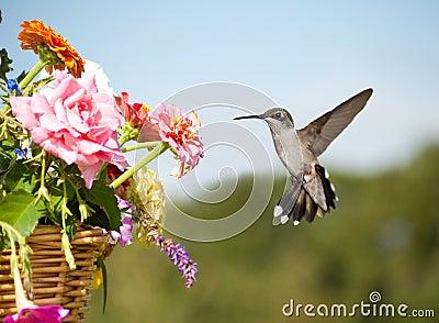 Juvenile male Hummingbird hovering