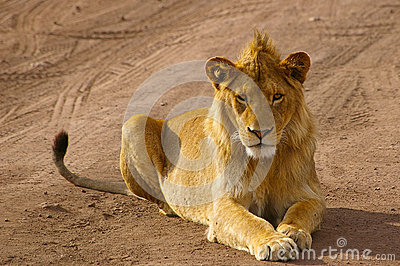 Juvenile male lion staring intently into the camera