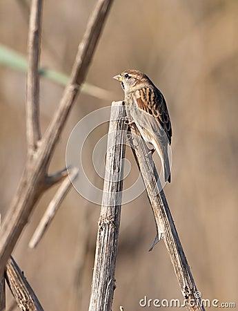 A juvenile male Spanish Sparrow