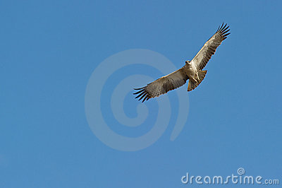 A juvenile Martial Eagle on flight