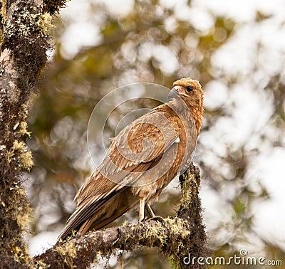 A juvenile Mountain Caracara