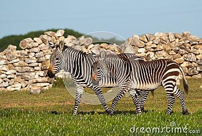 Juvenile mountain zebra pair