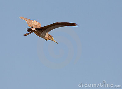 A Juvenile Night Heron preparing to land