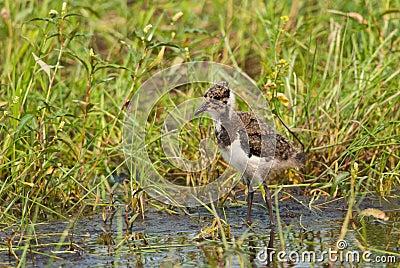 Juvenile Northern Lapwing