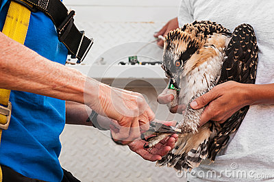 Juvenile Osprey (Pandion haliaetus) Being Banded