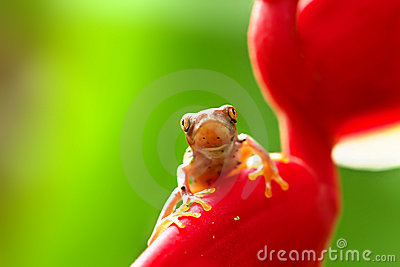 Juvenile red-eyed tree frog