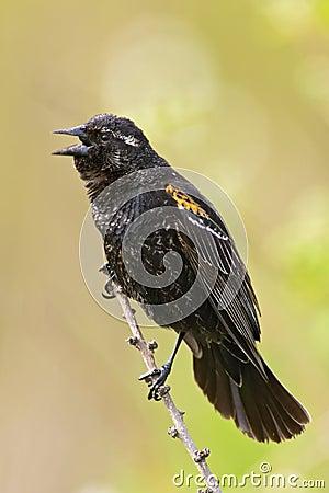 Juvenile Red-winged Blackbird