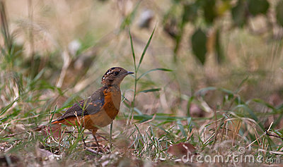A juvenile Rüppell s Robin Chat