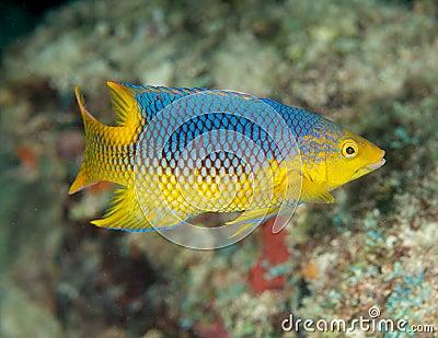 Juvenile Spanish Hogfish