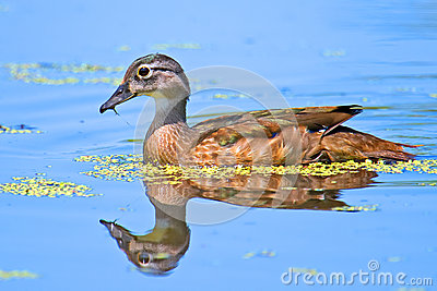 Juvenile Wood Duck