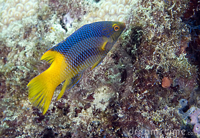 Juvenille Spanish Hogfish