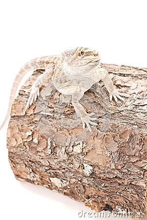 Juvi Dragon