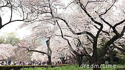 Körsbärsröda blomningar i Ueno parkerar i Tokyo, Japan Att beskåda den körsbärsröda blomningen är en japansk egen Ueno Park var J lager videofilmer