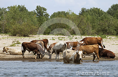 Kühe an einem Riverbank