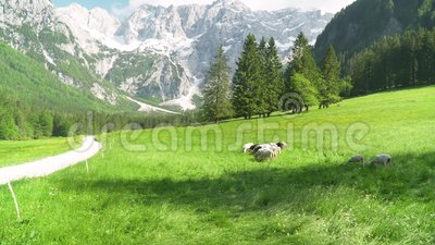 4k βίντεο του κοπαδιού των προβάτων κατά τη βοσκή τη χλόη με τα βουνά στην πλάτη Έννοια αγροτικών οργανική προϊόντων Eco φιλμ μικρού μήκους