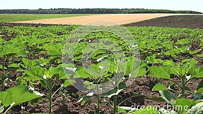 4K Ηλιοτρόπια στο γεωργικό τομέα, άνουρα λαχανικά, καλλιέργεια απόθεμα βίντεο