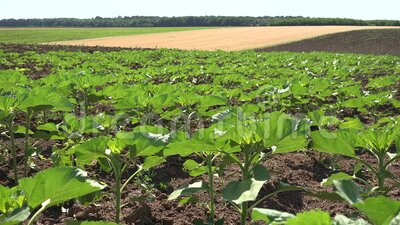 4K Ηλιοτρόπια στο γεωργικό τομέα, άνουρα λαχανικά, καλλιέργεια φιλμ μικρού μήκους