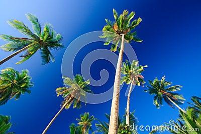 δέντρο παραδείσου φοινι&k