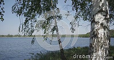 4k - acercamiento de un grupo de abedules jovenes cerca del lago metrajes