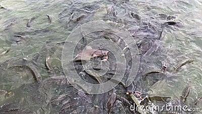 4K Footage Feeding fish concept Organische Tilapia Fische schwimmen und schwimmen finden Nahrung im Teich Nahaufenthalt Pellets stock footage