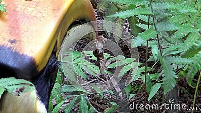4K, gran Hornbill indio masculino que caza con el pico que una rana para come en selva almacen de metraje de vídeo