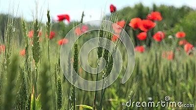 4K Poppy Field Red Flowers Rolnictwo Pszenica Zbiór żyta Widok Zboża Lato Land zbiory