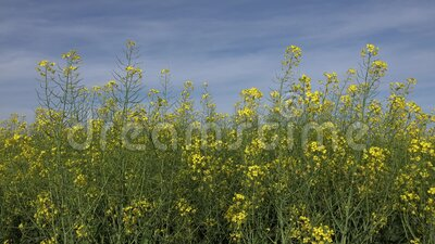 4K Rapeseed, Rape in Agriculture Field, View Colza Cultivational Land, Countryside stock videobeelden
