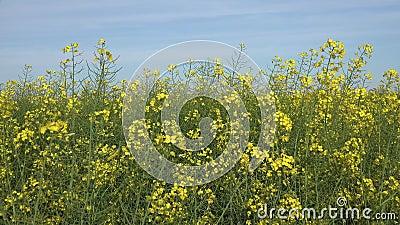4K Rapeseed, rzepak w rolnictwie, widok ziemi uprawnej w Colzie, wieś zdjęcie wideo