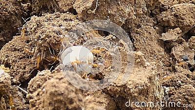4K se cierran encima del trabajo en equipo del tiro de la hormiga que mueve encendido la tierra seca del país almacen de metraje de vídeo