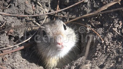 4K Weasel Hole in Field, Otter, Mink Home, Natural Environment, Marten Animes stock video footage