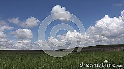 4K Zbiory Uszu Pszenicy w zachodzie słońca, przemysł rolny, Sun Ray w zbożach, pole ziaren rolniczych zbiory