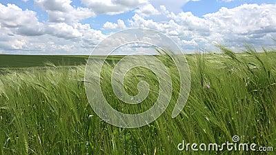 4K Zbiory Uszu Pszenicy w zachodzie słońca, przemysł rolny, Sun Ray w zbożach, pole ziaren rolniczych zdjęcie wideo