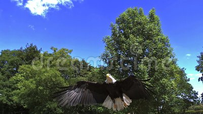Kaal Eagle, haliaeetusleucocephalus, Volwassene tijdens de vlucht stock footage