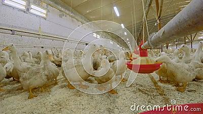 Kaczki jedzą karmę przy farmą drobiu zdjęcie wideo