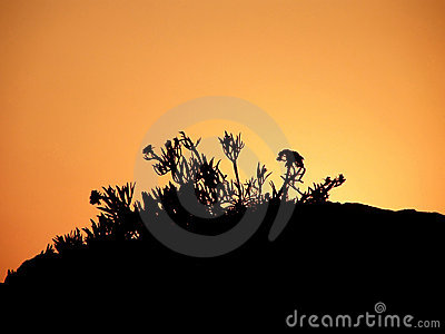 Kadulja, plant in sunset