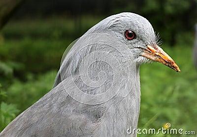 Kagu Bird