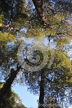 Free Kahikatea Forest Canopy, Christchurch, New Zealand Royalty Free Stock Photos - 20648698