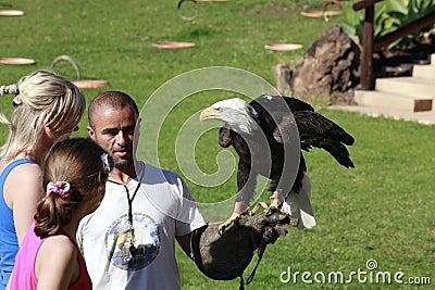Kahler Adler auf der Hand eines Falkners Redaktionelles Stockbild