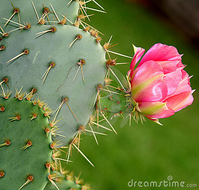 Kaktus kwiat bloom