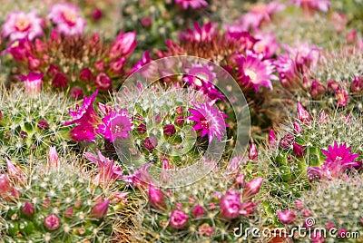 Kaktus med blomningen
