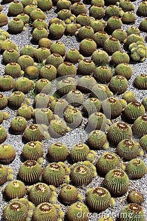 Kaktusträdgård