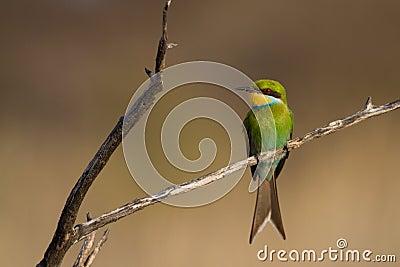 Kalahari bee-eater